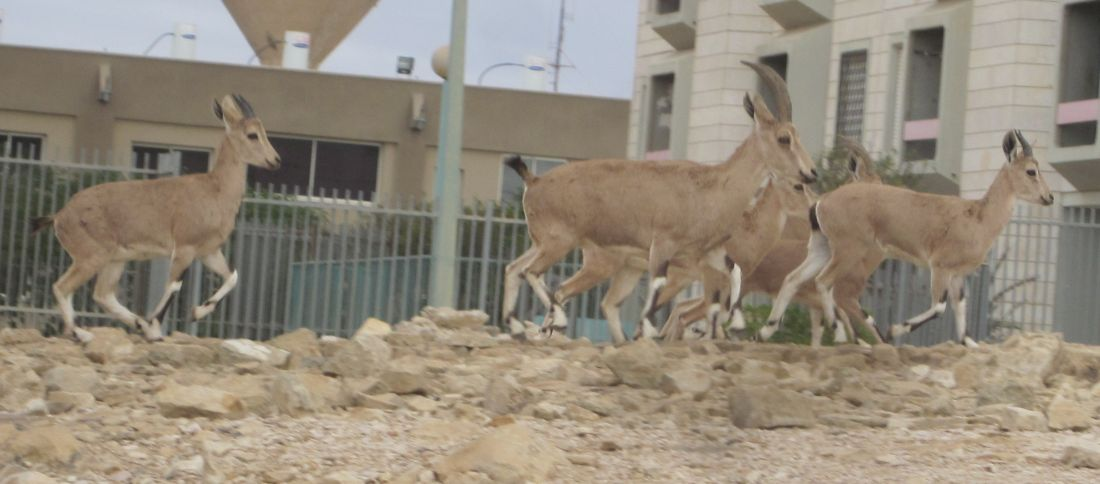Ibex (Capra nubiana) in town of Mitzpe Ramon