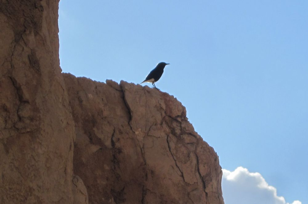 Mourning Wheatear singing his heart out (Oenanthe lugens) ( סלעית לבנת כנף )
