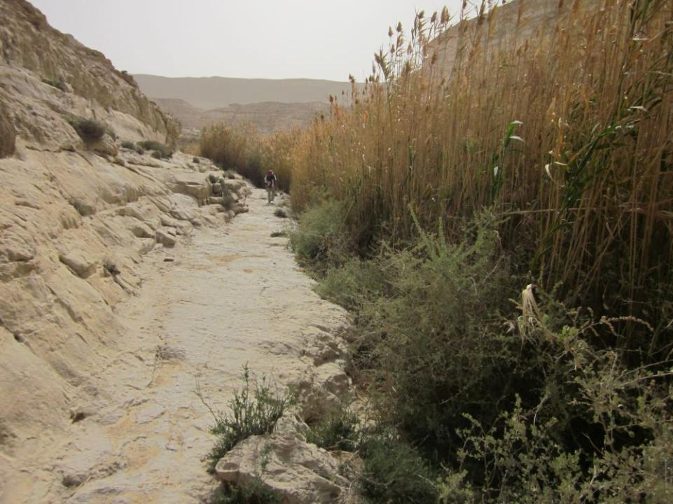 reeds growing out of a flowing stream going into Ein Akev in the Negev Desert