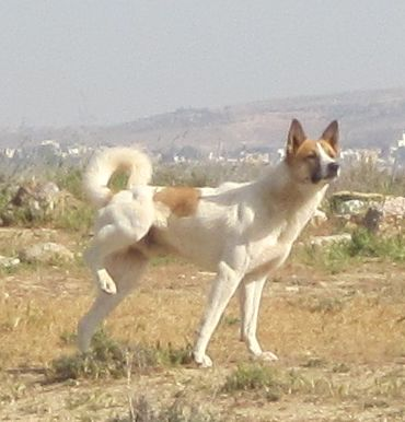 Beautiful example of a Canaan Dog (כלב כנעני‎‎ ),  native to Israel