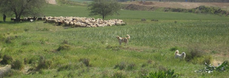 Bedouin sheep and their fierce dogs.