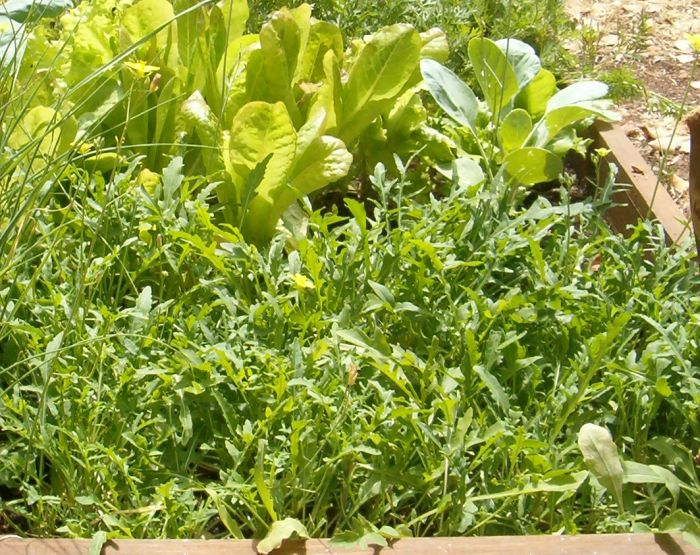rocket and lettuce from spring 2009 garden