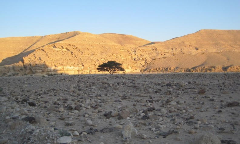 Lone Acacia tree at the end of Nachal Kanfan