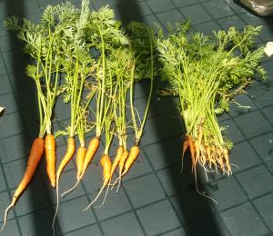 carrots that were harvested from the spring 2009 garden