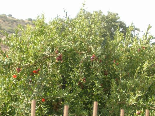 Pomegranet trees