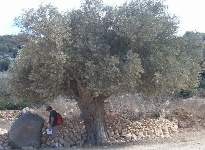 Don standing next to old olive tree with stone sculpture around it.