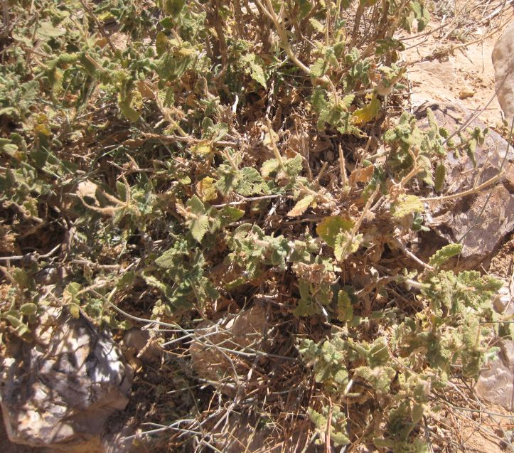 Sage (Salvia מרווה )  Growing in the desert