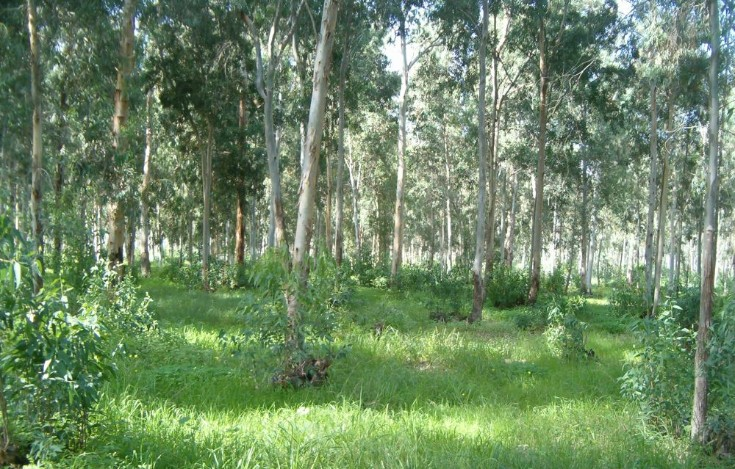 Hadera Forest made up of eucalyptus trees.