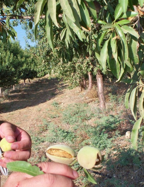 Almond orchard.