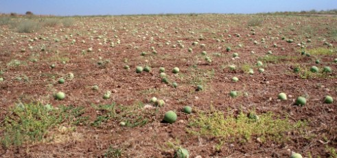 Field of watermelons