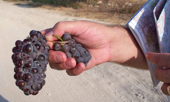 grapes from the vineyards past Latrun