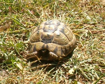 Testudo graeca, the spur-thighed tortoise found in the Golan Heights