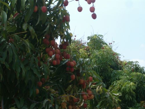 Lychee orchard