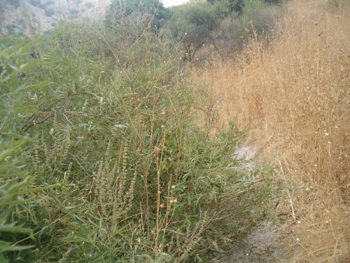 sweet smelling chasteberry on trail towards the end of Wadi Amud