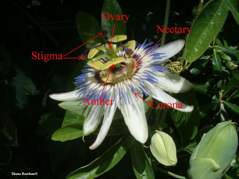 Annotated picture of Passiflora caerulea flower