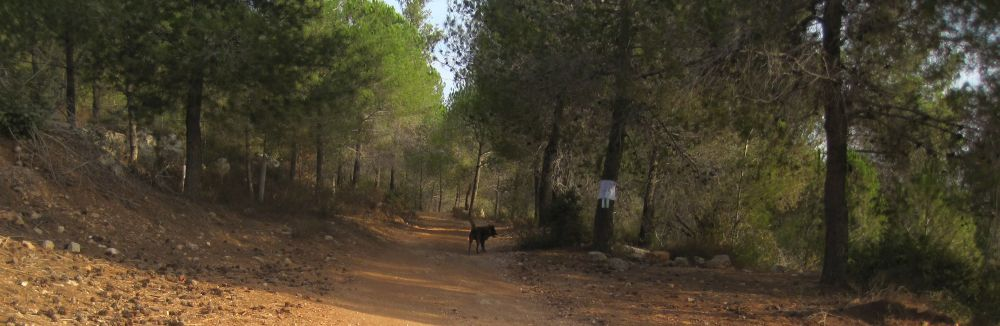 Pleasant pine forest on the way to Jerusalem