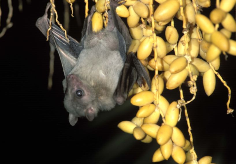 Picture of Egyptian Fruit Bat hanging from palm tree by Amram Zabari
