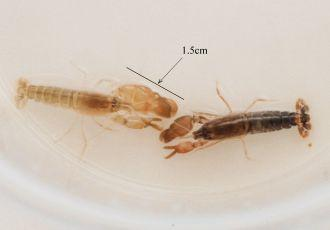 Male and female Snapping Shrimp with measure