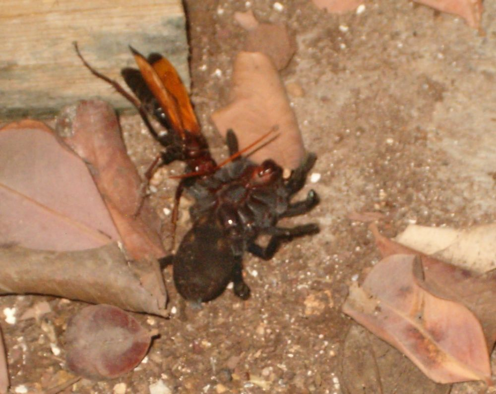Tarantula (Chaetopelma olivaceum) paralized and being dragged to the lair of the wasp Hemipepsis brunnea.